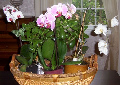 Phalaenopsis orchids with Crassula argentea