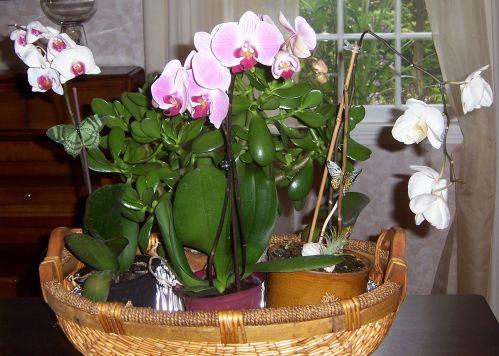 Phalaenopsis orchids with Crassula argentea