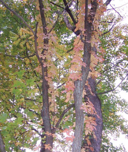 Parthenocissus quinquefolia or Virginia Creeper