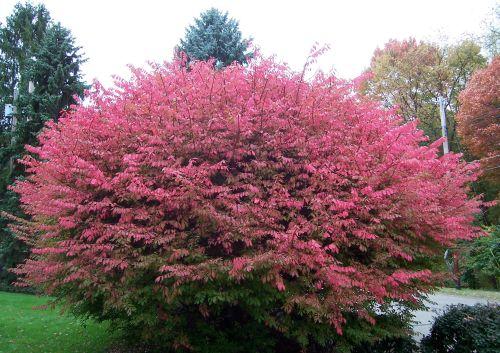 Euonymus alatus in fall