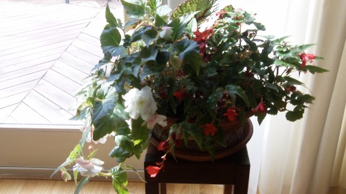 Angel Wing Begonias