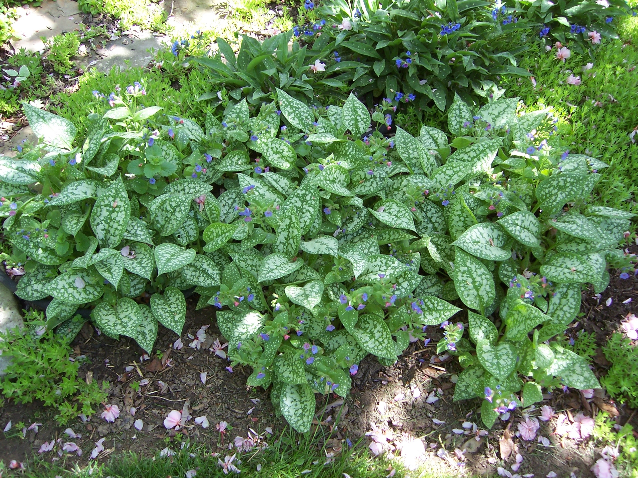 Pulmonaria for Perennial ground cover plants for sun