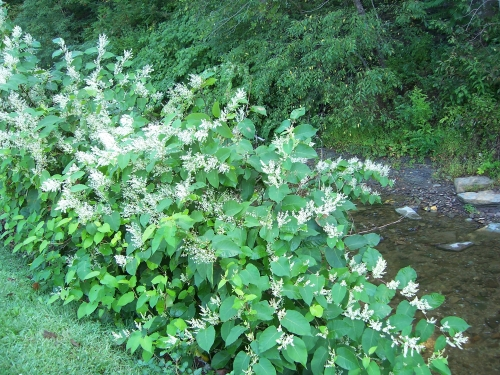 Japanese Knotweed2
