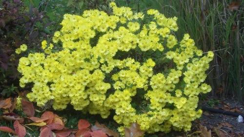 Yellow Mum - 1