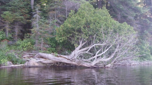 White Pine 2 - 1
